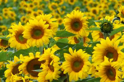 Sunflowers make oil